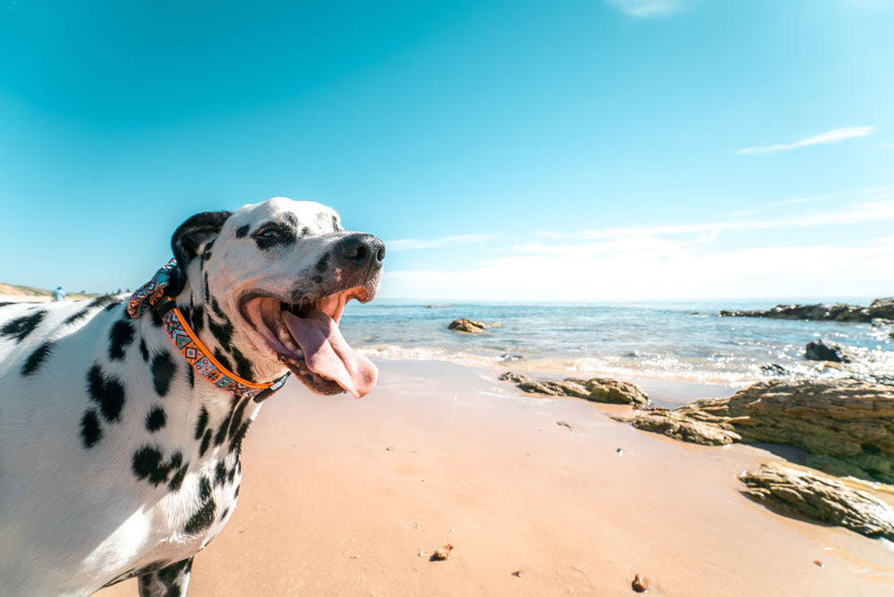 Dogs at the beach and surf dangers